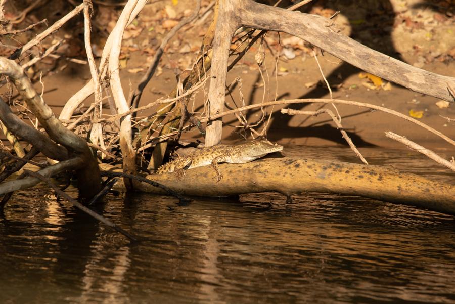 Kleines Krokodil Tanzania