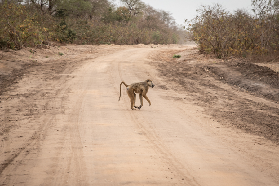 Affe Safari-Urlaub Tanzania