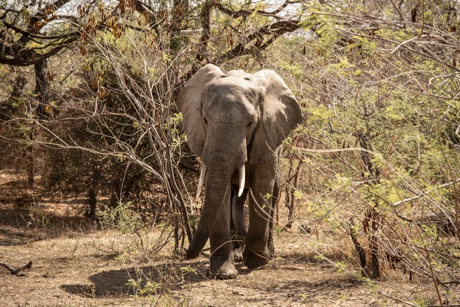 Elefant Safari-Urlaub Tanzania