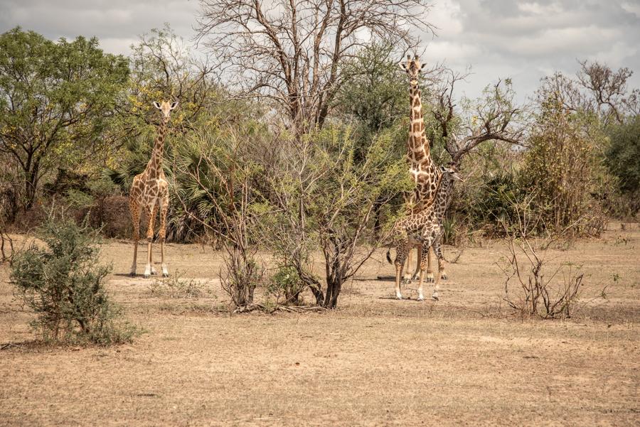 Giraffen Safari-Urlaub Tansania