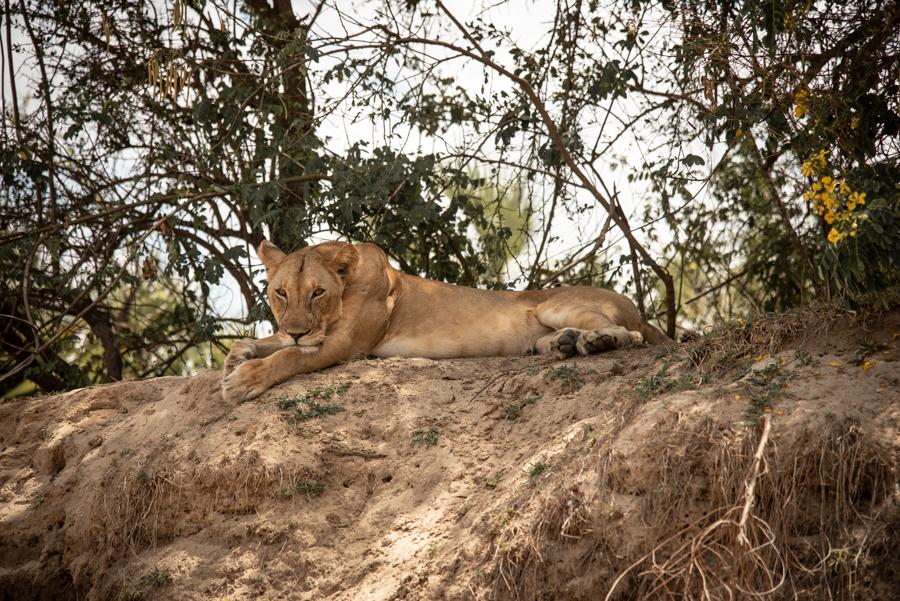 Löwin Safari-Urlaub Tansania