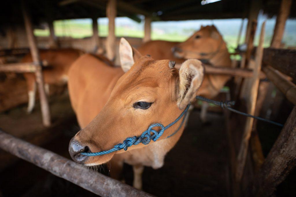 Ab und an werden die Kühe nach wie vor als Nutztier für die Reisfelder eingesetzt.
