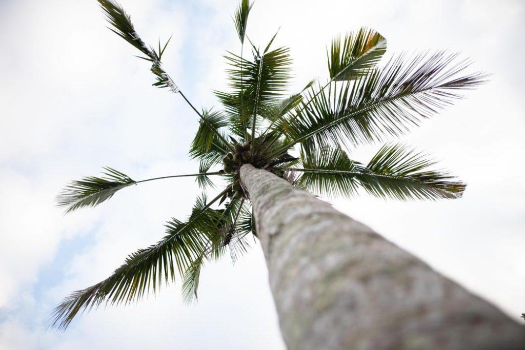 Frische Kokosnüsse. Wie gerne hätte diese Palme Zuhause im Garten.