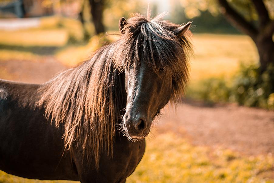 Island Pferd Rappe