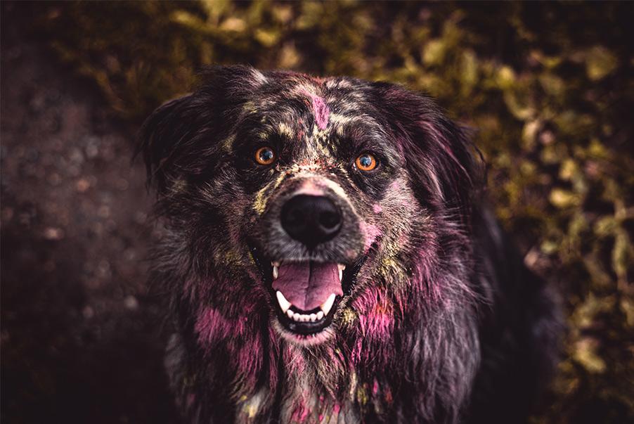Holi-Fotoshooting Hund