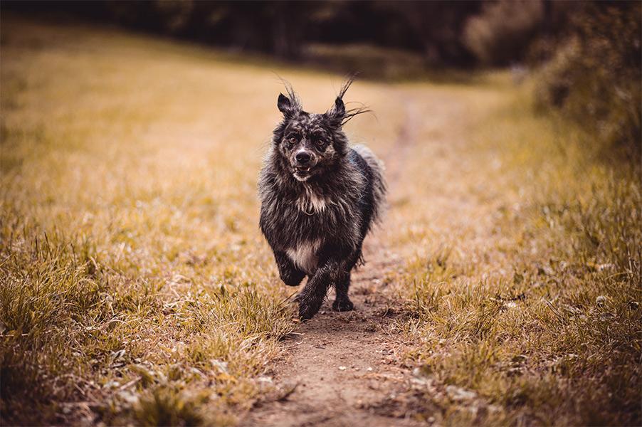 Hundefoto laufend